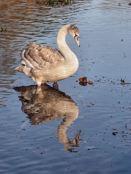 I am a Swan! by brian1208