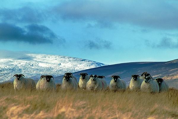 Cheviot Sheep by icphoto