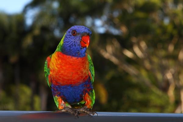 Rainbow Lorikeet by lesliea