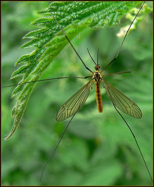 Crane Fly (Tipula maxima) by fentiger