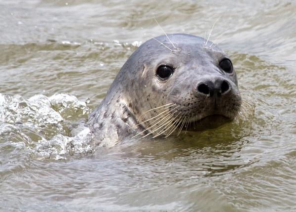 Blakeney Seal by jon1169