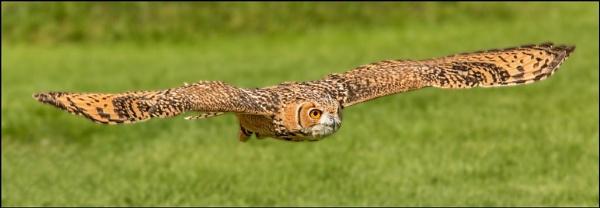 Savignys Eagle Owl - ICBP by Louise_Morris