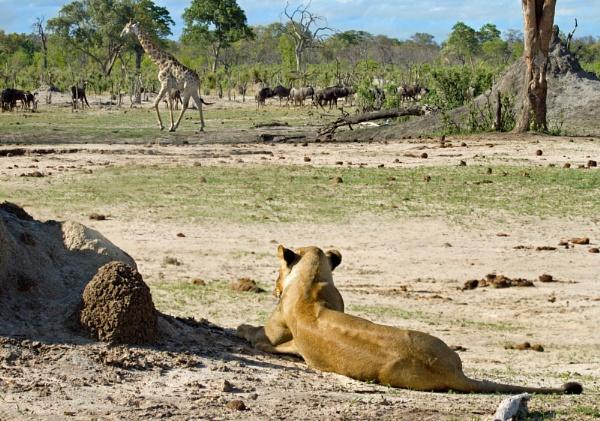 Lion Watching Giraffe in Zimbabwe by pf
