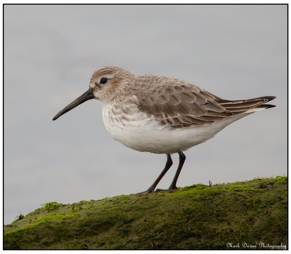 Sanderling,,, by MD2009