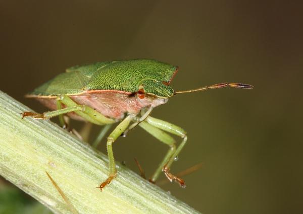 Green Shield Bug by Metro6R4