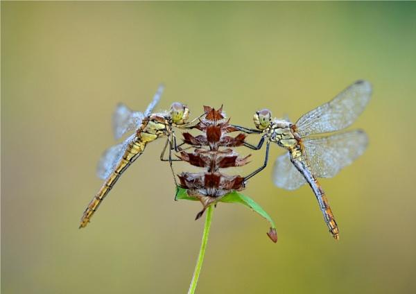 nice dragonflys by ruurd