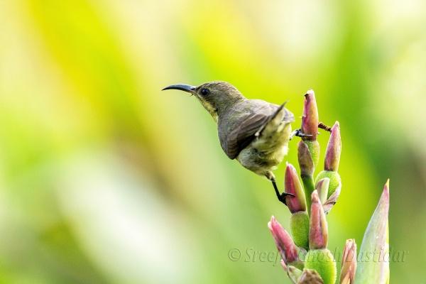 Yellow-Billed Sunbird 2 by sreejib77
