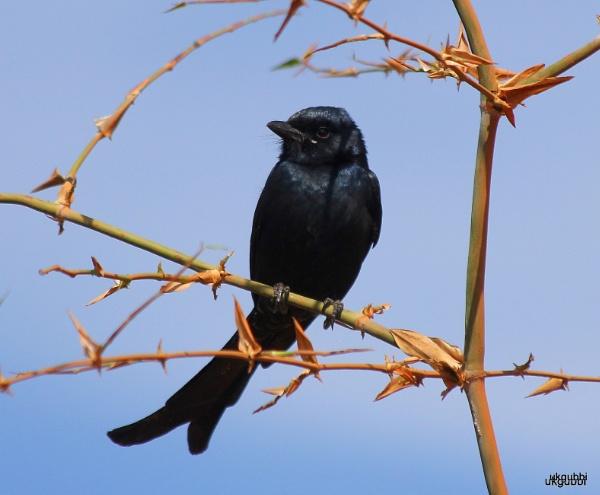 Bird Drongo by ukgubbi