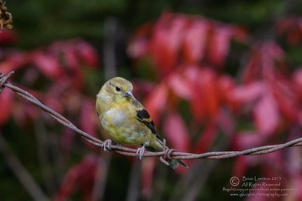 American Goldfinch by igknight