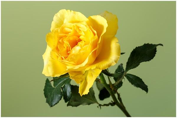 Rose by dark_lord