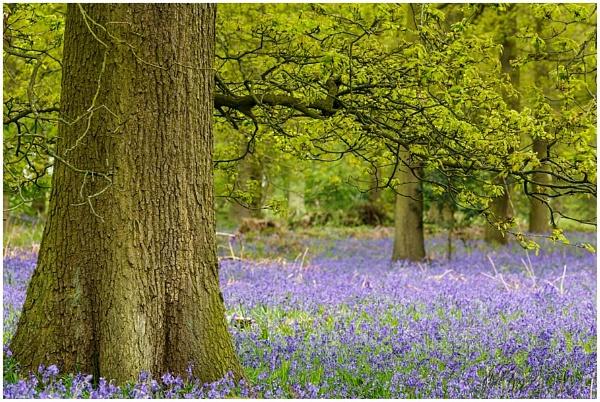 Staffordshire Bluebells by dark_lord