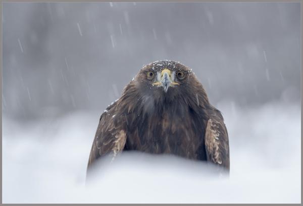 Golden eagle by Daxiesmum