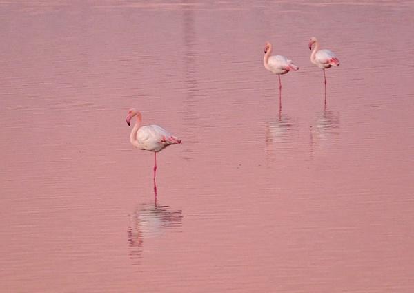 Camargue Flamingo by suejoh