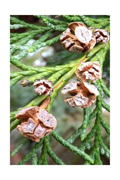 Baby fir cones by ZoeKemp