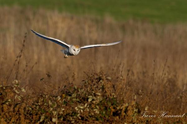 Barn Owl 2014 by trevrob