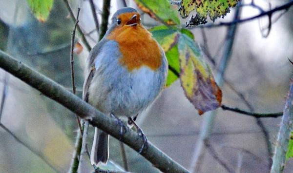 Singing Robin by Brovy