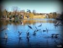 Feeding in Stanton Lake.