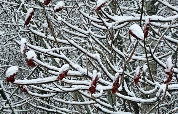 Sumac in Snow by Joline