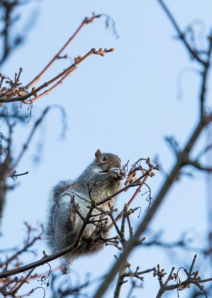 Squirrel by chrisheathcote