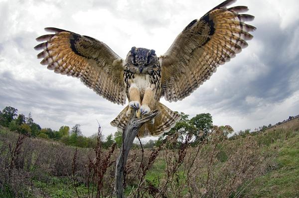 Eurasian Eagle Owl by Chrism8