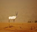 Arabian Oryx.