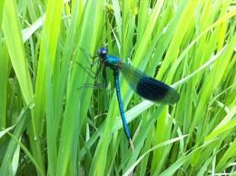 Damsel fly lugg meadows