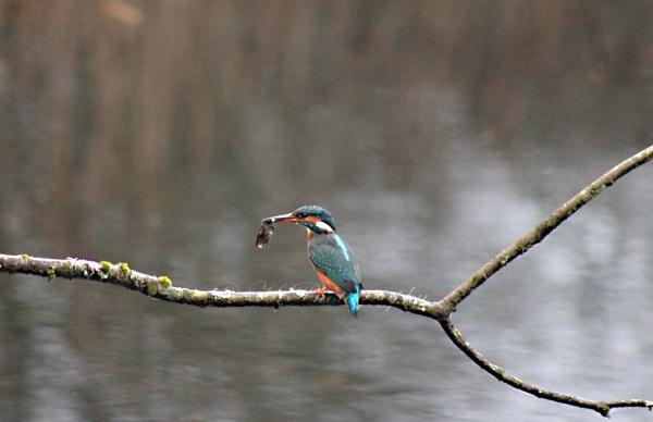 Kingfisher by elliemoo