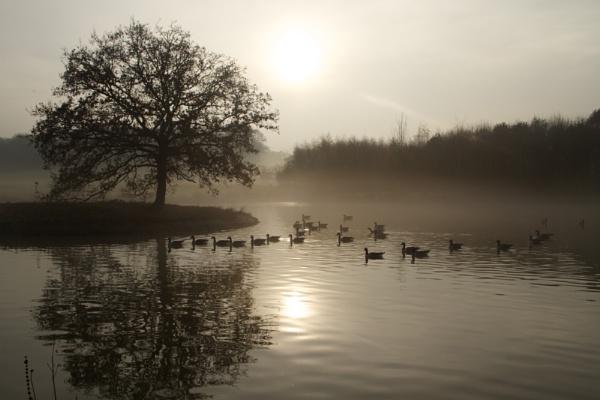 Canadian Geese by Glen-W