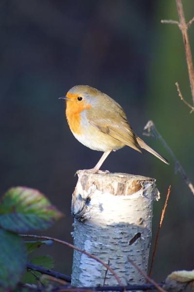Sunlit Robin by AndyBeattie