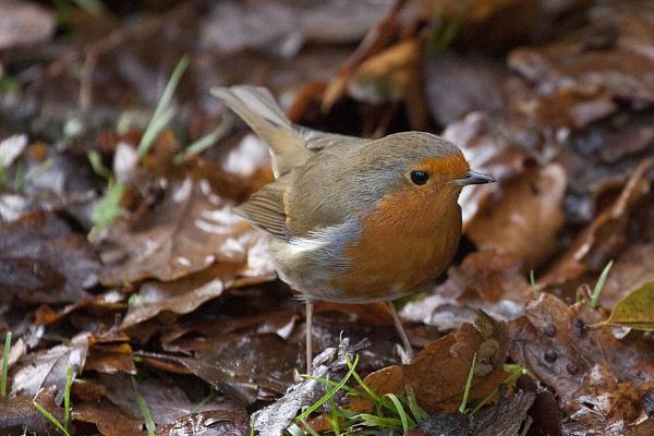 Robin by Fairoaks