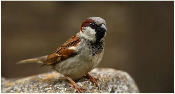 House Sparrow 2 by dark_lord
