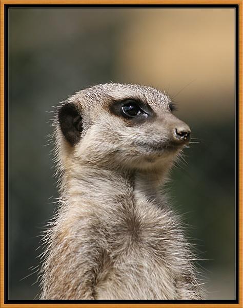 Meerkat by simont