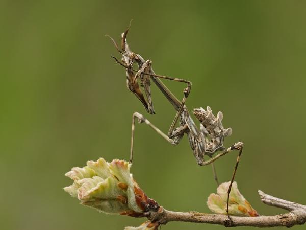 Empusa Mantis Preening by fishiee