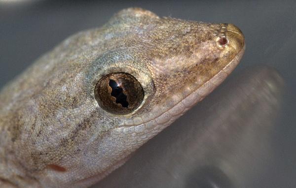 Asian House Gecko by steevo46