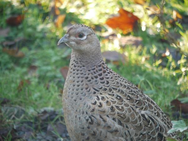 Hen pheasant by DerekHollis