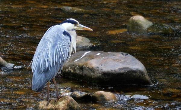 Stalking Heron by Brovy