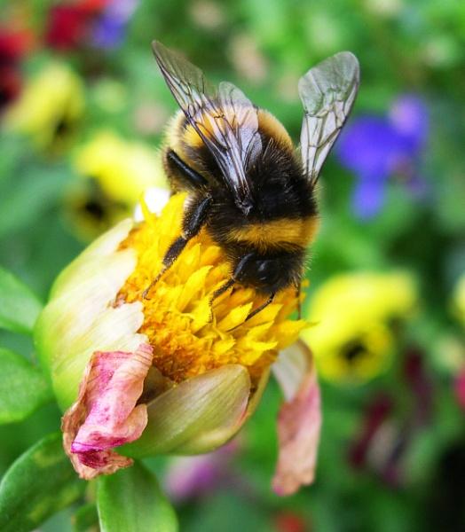 Bumble Bee by eddiemat