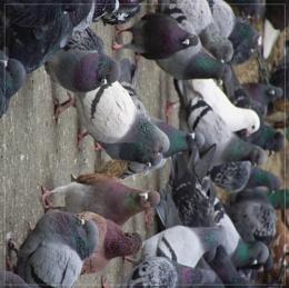 Pigeons Meeting