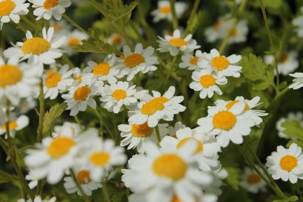 Daisy by RPilon63