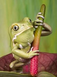 Painted Waxy Monkey tree frog