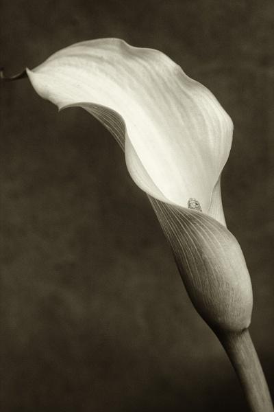 Calla Lily by FrankThomas