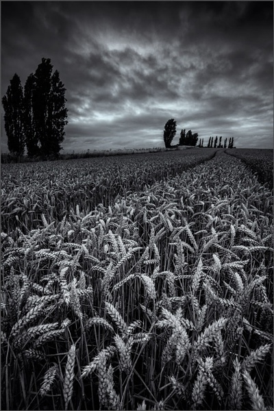 South Darenth Wheat Field by derekhansen