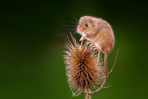 Harvest mouse by mikepearce