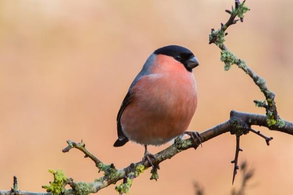 Bullfinch by john_slevin