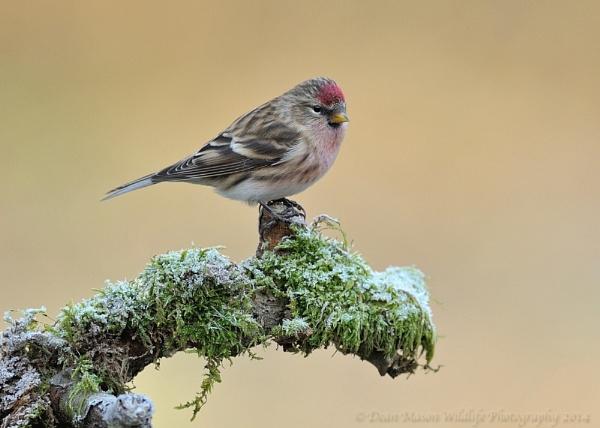 Redpoll on frosty perch by WindowonWildlife