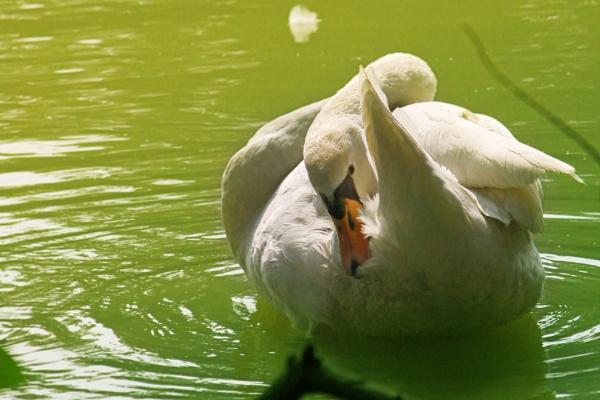 swan by pankaj_dutta