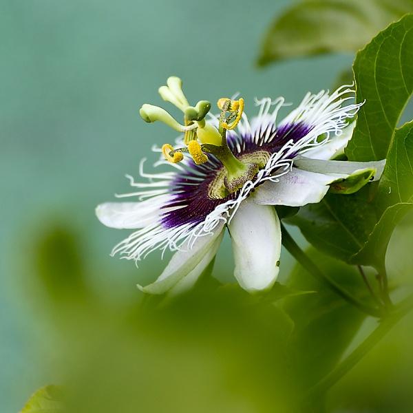 Passiflora edulis flower by luizdasilva