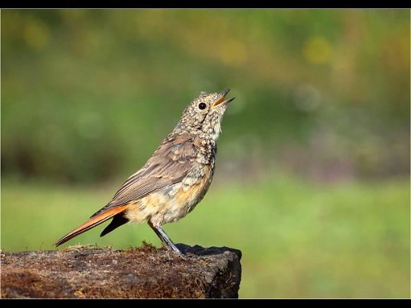 Juvenile Redstart Calling by JaneMIchelle