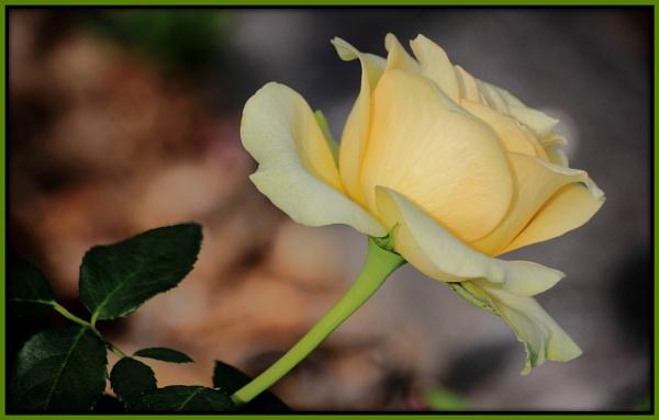 Rambling Rose by Lynniesefforts