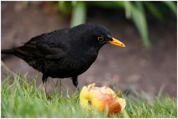 Blackbird at Lunch by dark_lord